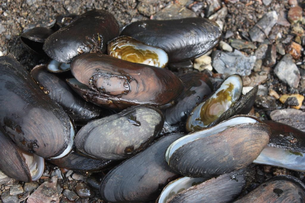 empty shells of endangered freshwater pearl mussel next to a stream