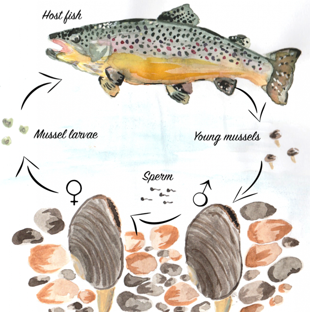 Lifecycle of the endangered freshwater pearl mussel