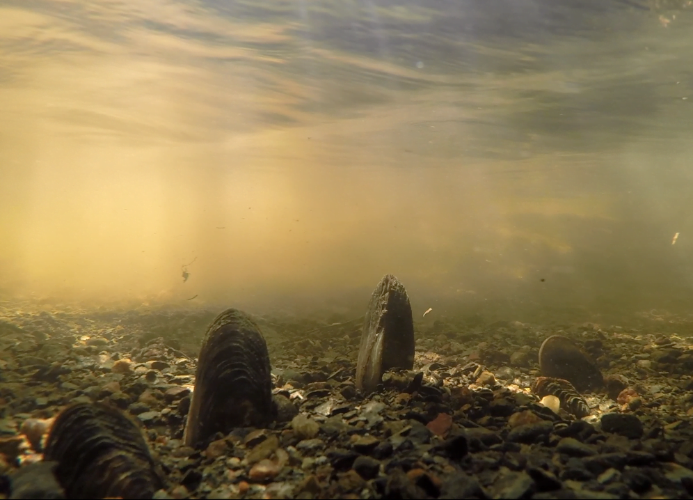 Three older individuals of freshwater pearl mussel on gravel