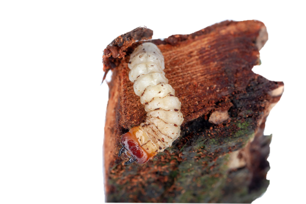 Image description. Close up of a bark beetle larva crawling over a piece of wood.