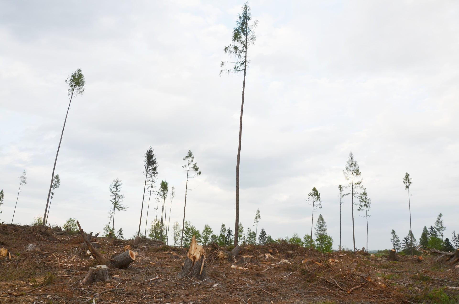 image description. Devastated forests after bark beetle attack
