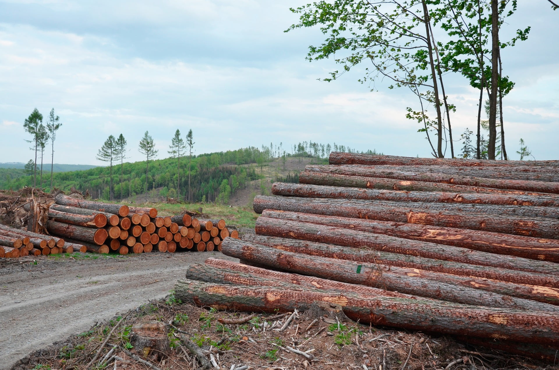 Image Description. Felled norway spruce trees after bark beetle attack.