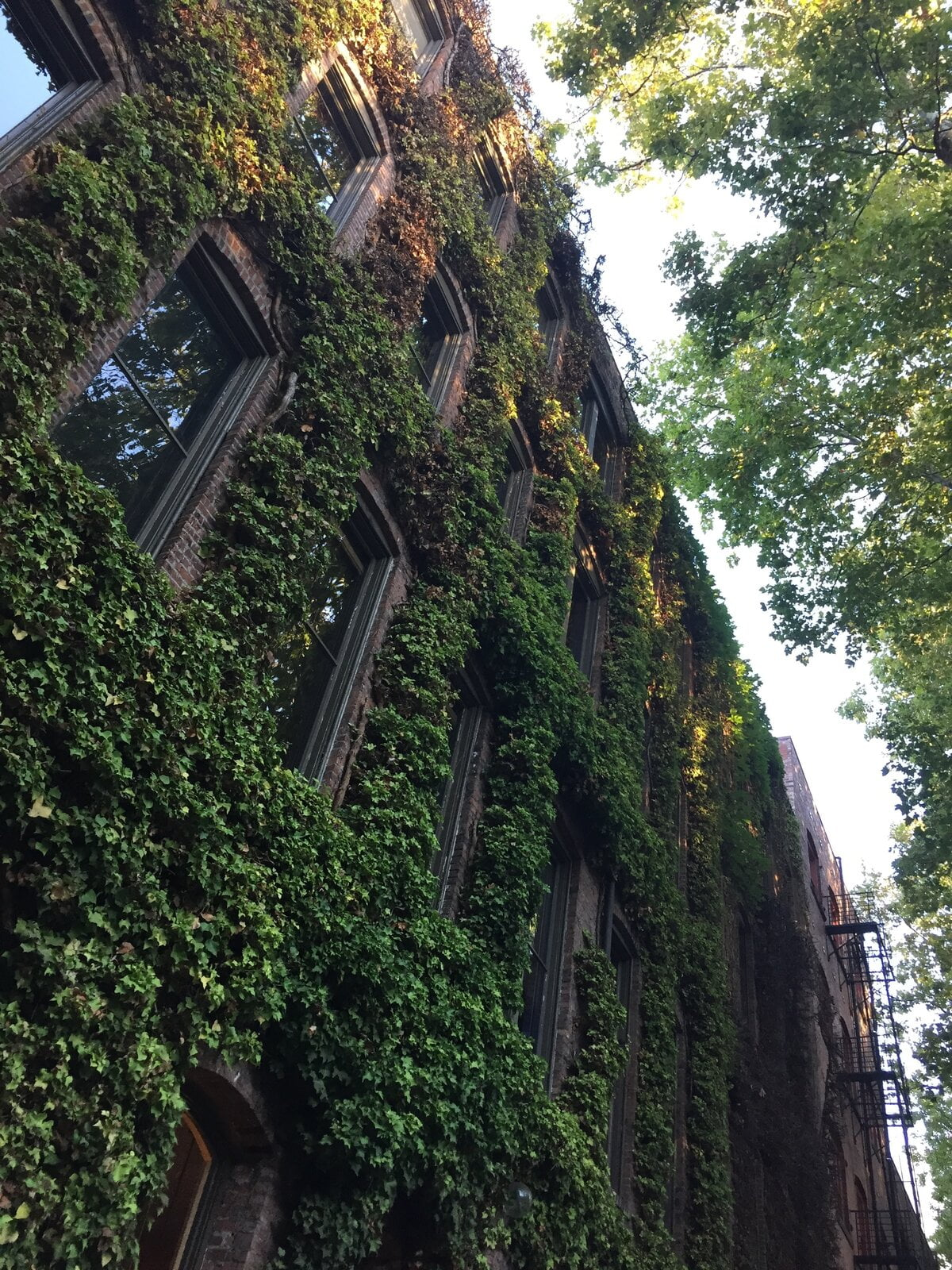 Image description. ivy growing on the facade of a house