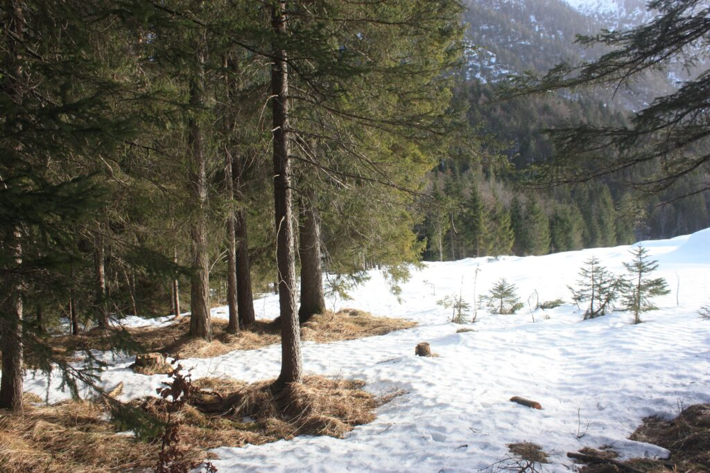 image description. forest edge in winter with snow-free patches around the trees
