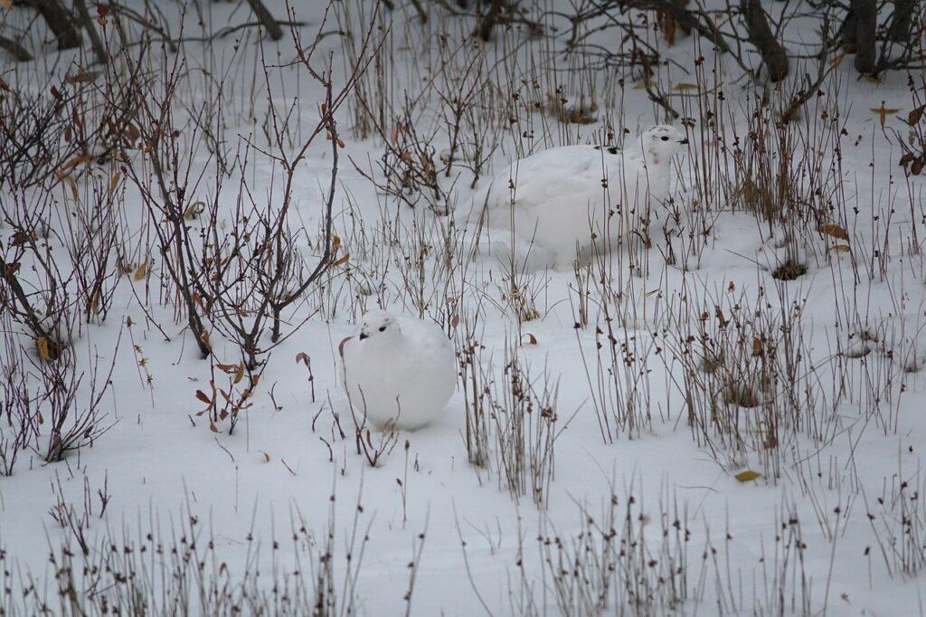 image description. ptarmigan in the snow
