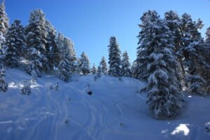 image description. skiing tracks in the forest