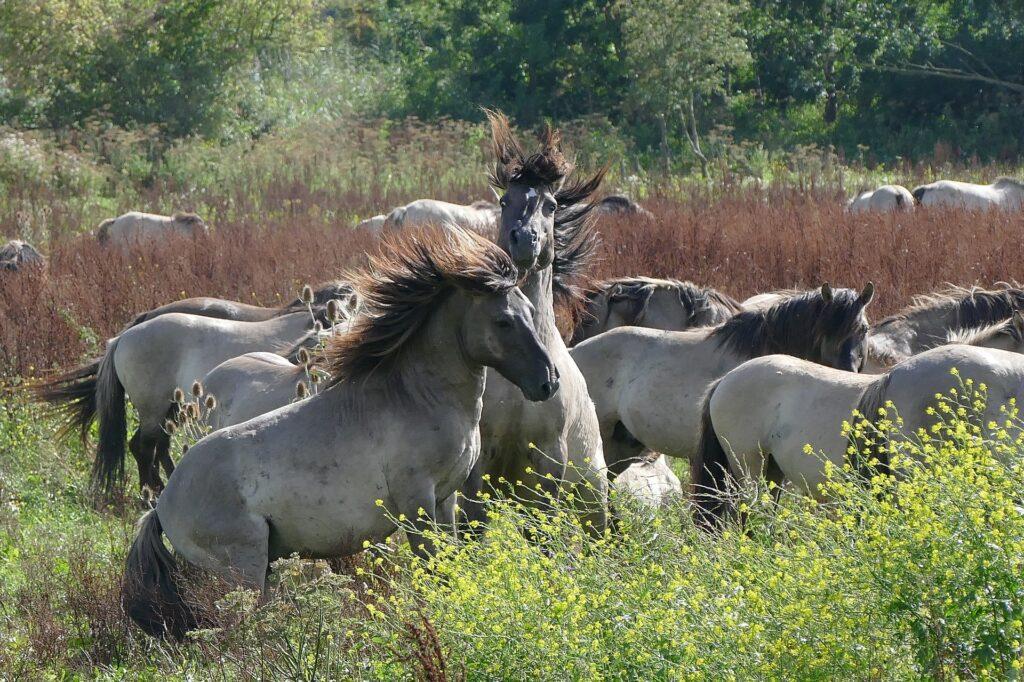 Wild horses roaming in the rewilding area in Oostvaardersplassen.