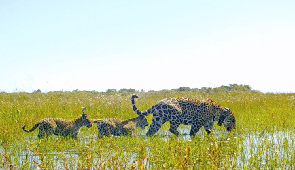 Rewilding in Argentina - A female jaguar with her two cubs in the Iberá Park in Argentina.