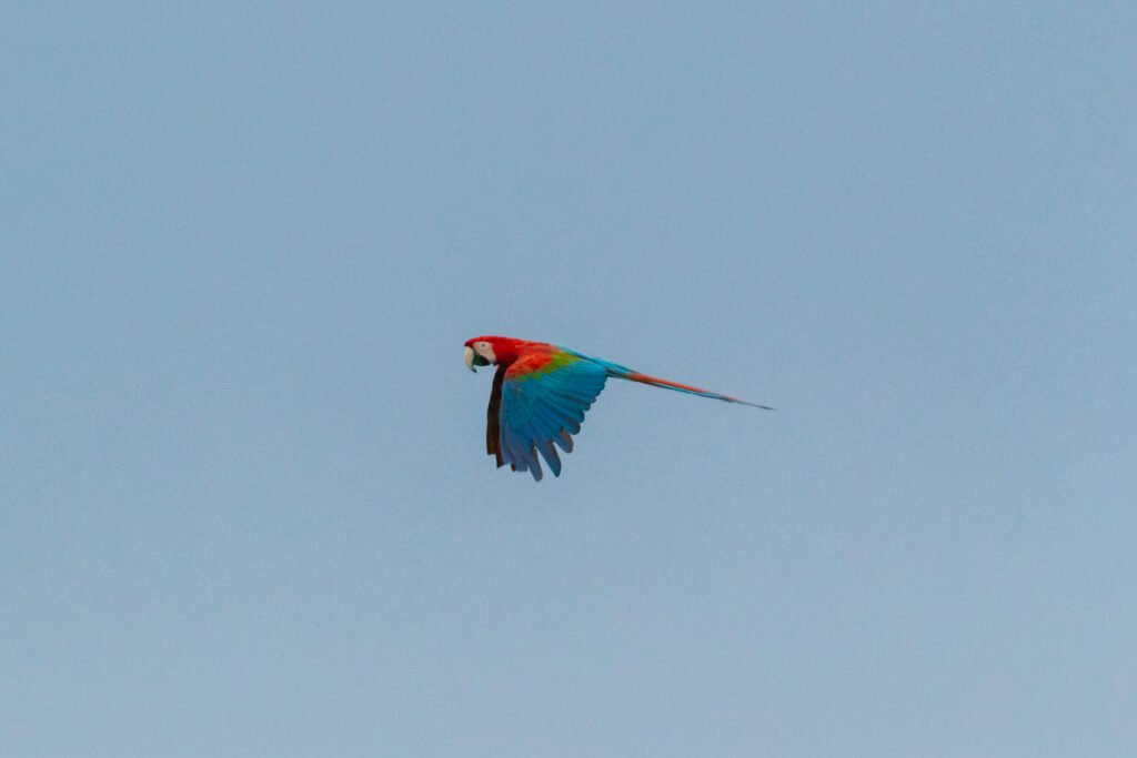 Flying macaw parrot in the blue sky above the rewilding area in Iberá, Argentina.