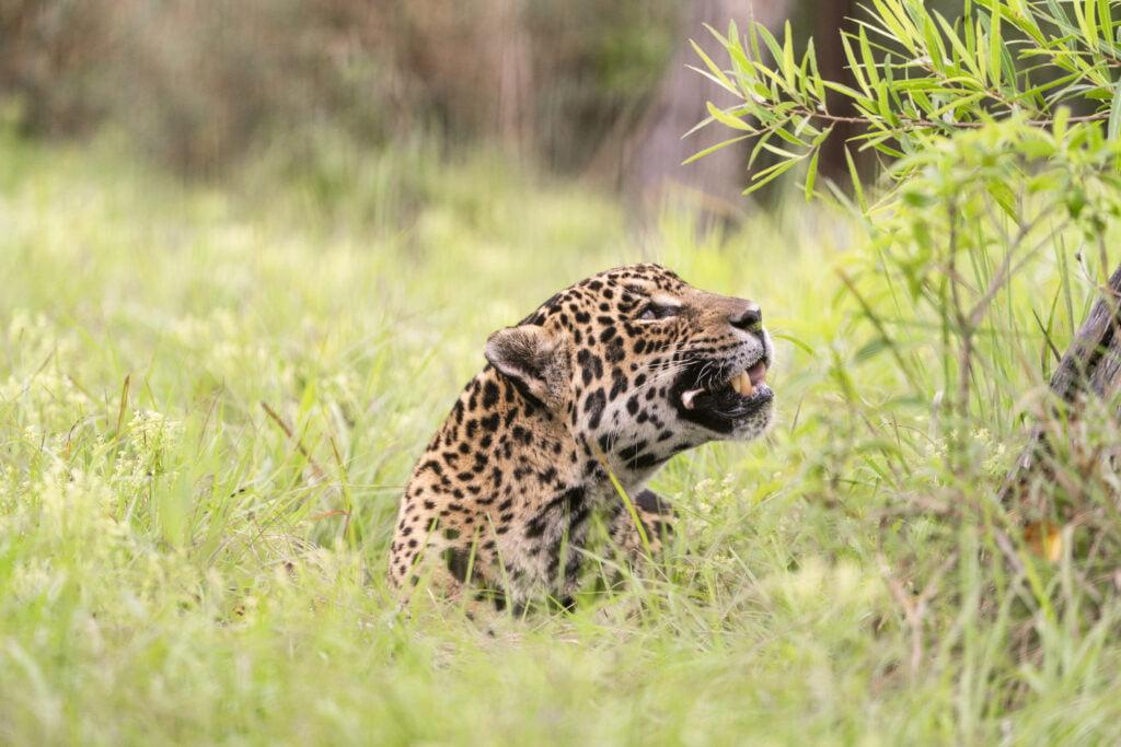 Trophic rewilding - brining back the Jaguar to Argentina