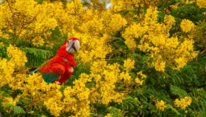 Macaw sitting in a tree surrounded by yellow blossoms in the rewilding area of Iberá in Argentina.