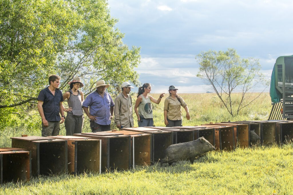 Park rangers watching the release of collared peccaries in a rewilding area in northern Argentina.