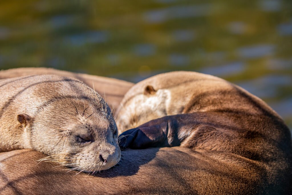 Translocation rewilding - Two giant otters sleeping next to each other in the rewilding area of Iberá, Argentina.