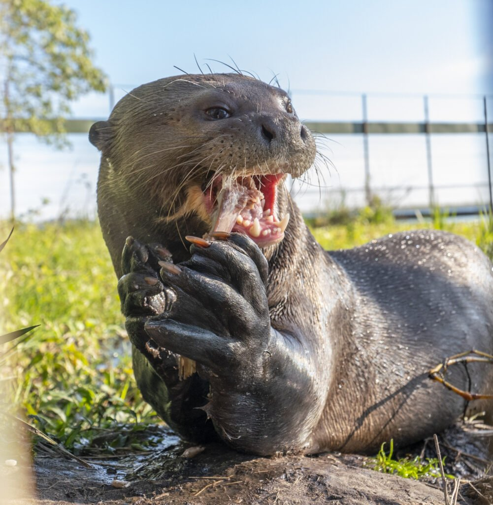 Giant otter holding some food between its claws to be reintroduced in the rewilding area in Iberá, Argentina.