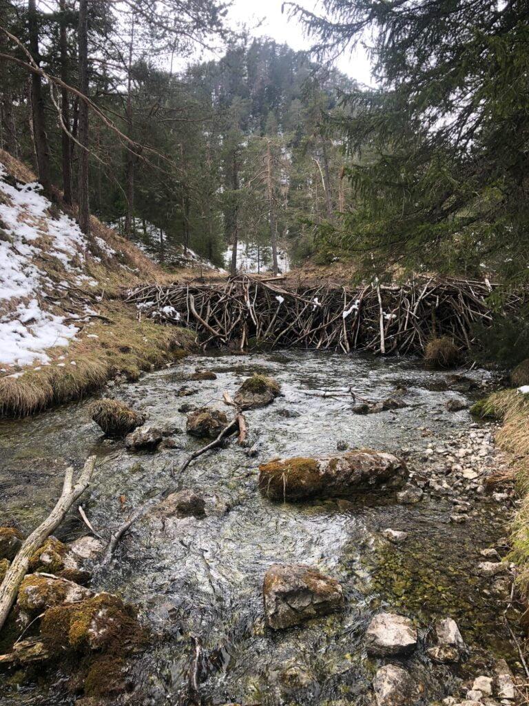 Beaver dam in Austria