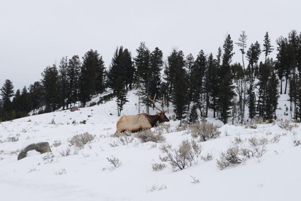 Elk in an open forest landscape in winter