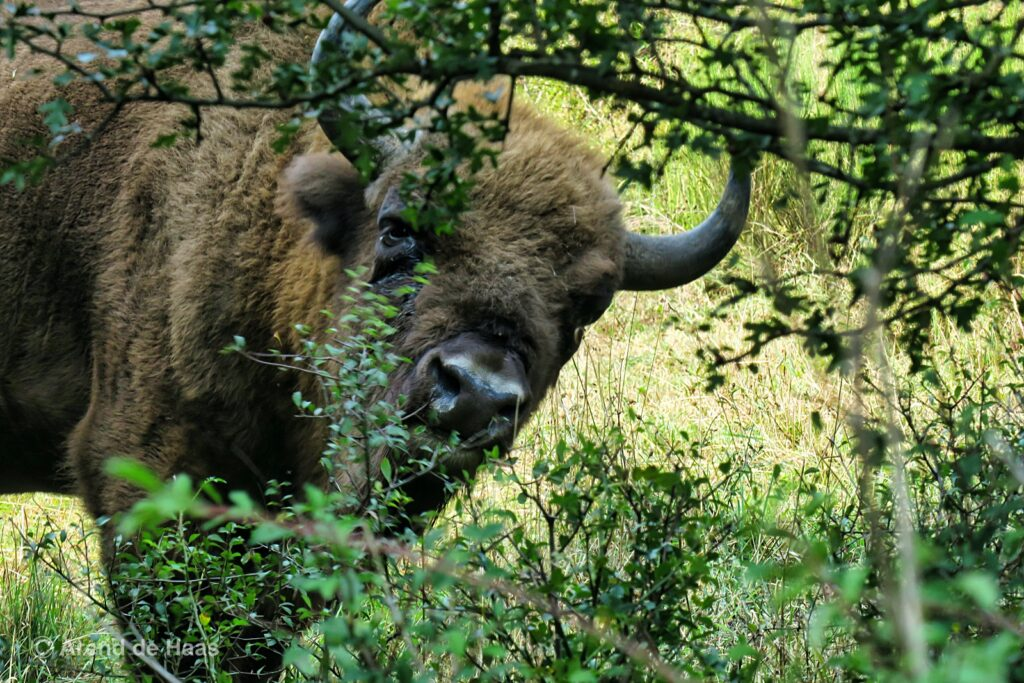 Rewild the world by introducing species such as the European bison