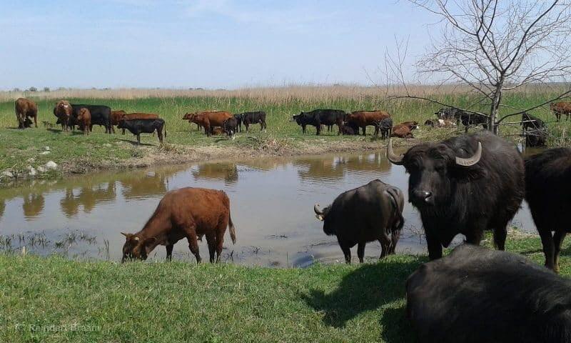 Rewilding water buffalo in Ukraine