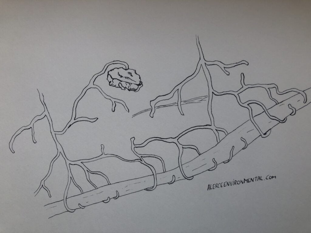 Ink drawing of untought partnerships for communication and fungi: mycorrhiza attached to rocks and roots.