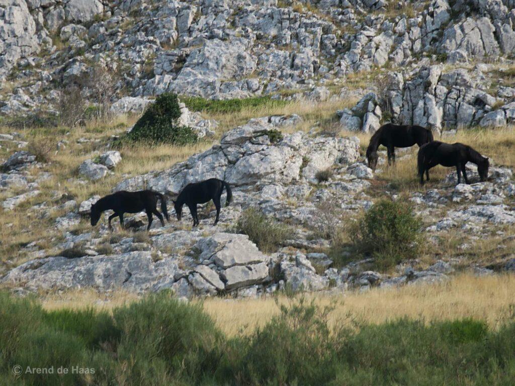 Pottoka (endangered ponies) in alpine terrain